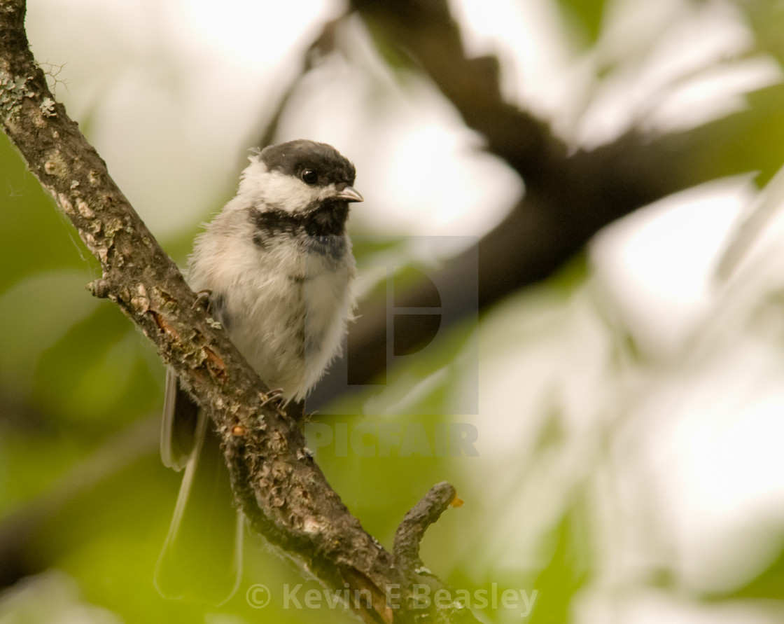 Carolina Chickadee (Poecile carolinensis) Perched on a Limb in Alaska