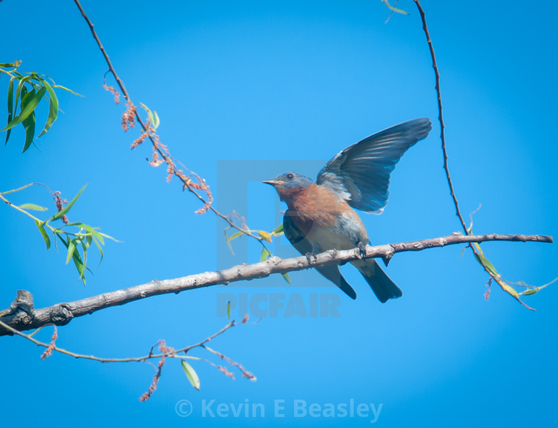 """Male Eastern Bluebird (Sialia sialis) in Courtship Ritual"" stock image"