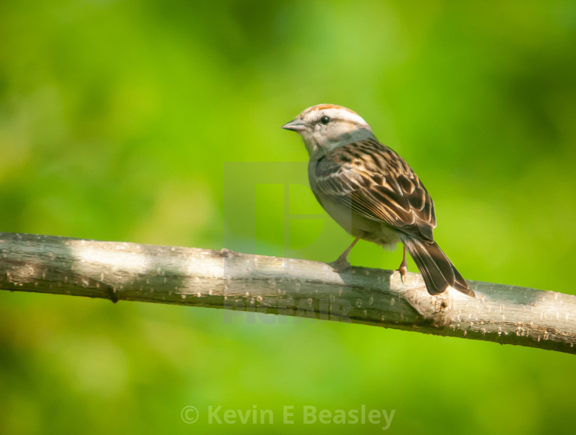 """Chipping Sparrow (Spizella passerina) Perching in Donald Davis A"" stock image"