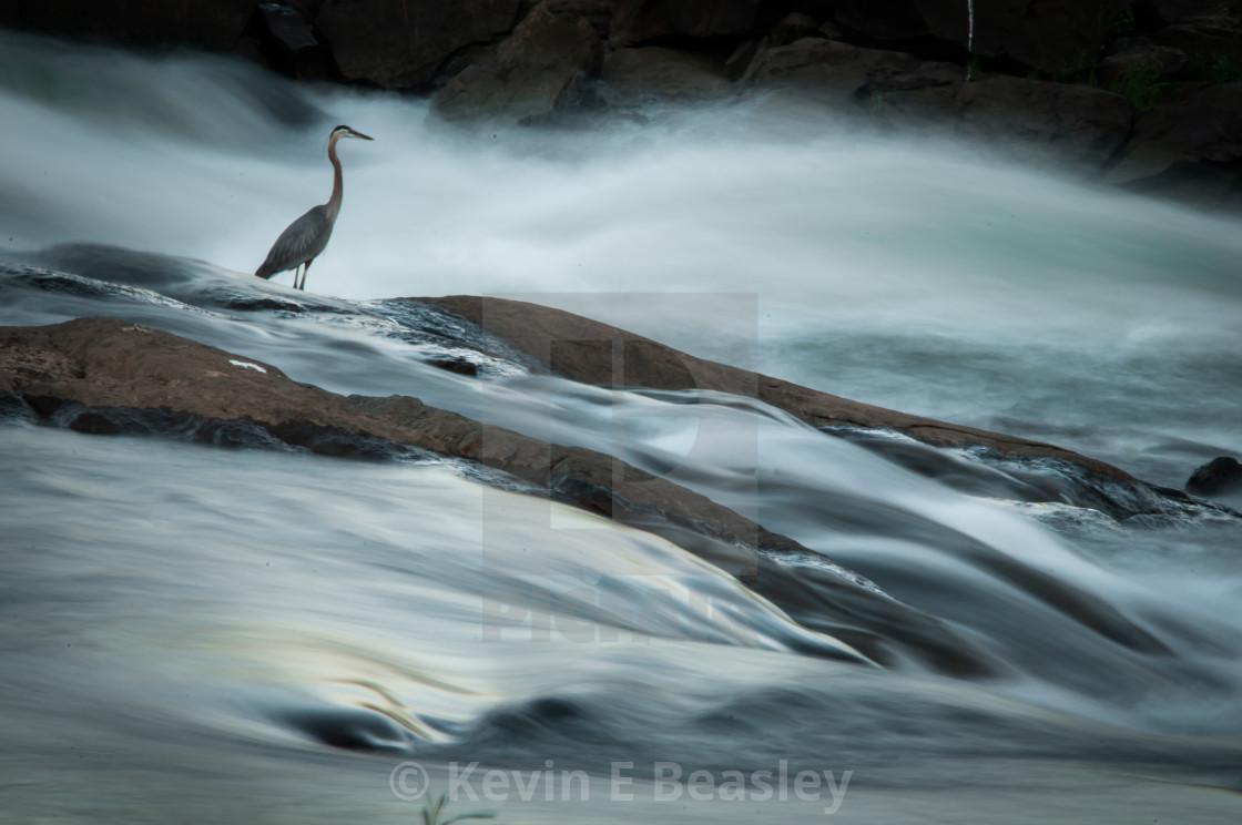 """Great Blue Heron (Ardea herodius) Fishing on the Chattahoochee River"" stock image"