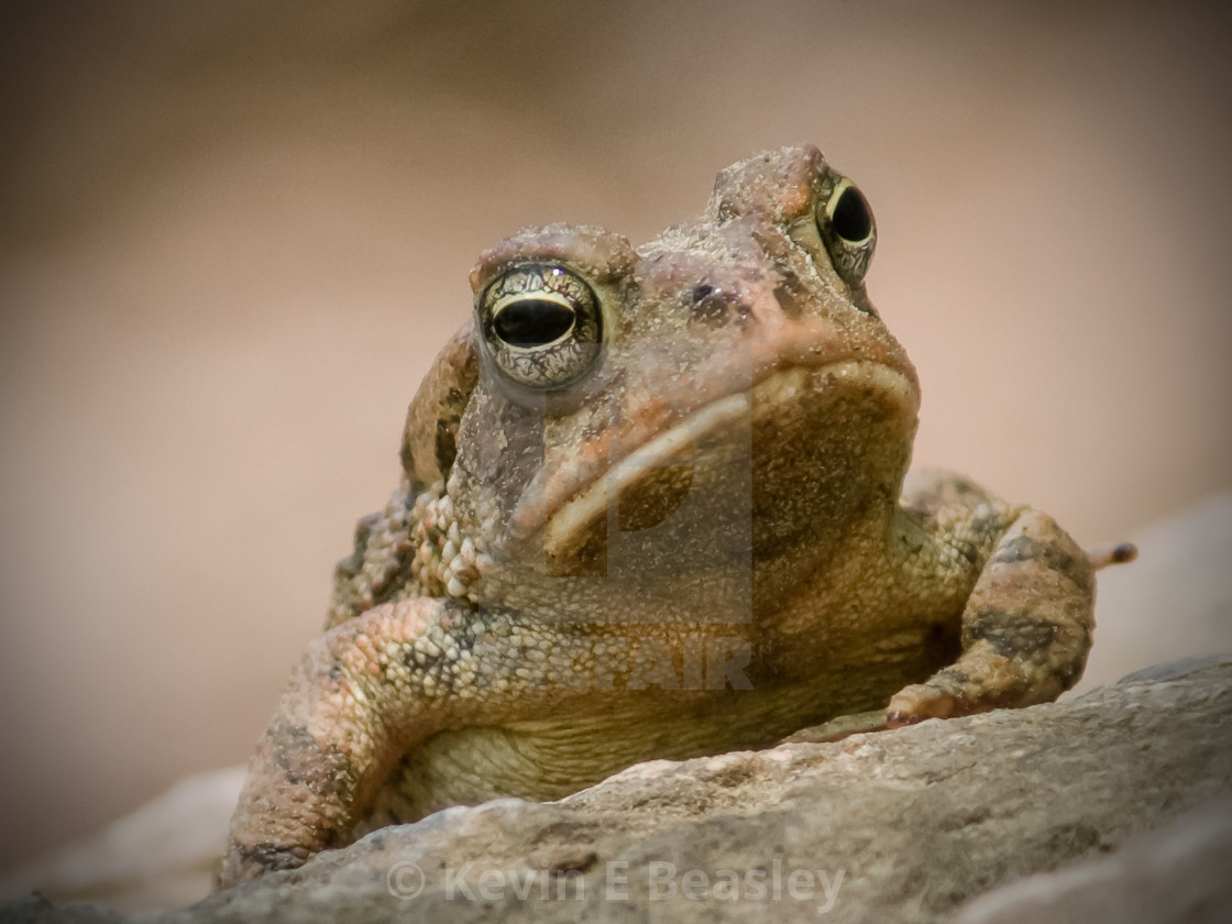 """Portrait of an American Toad (Bufo americanus)"" stock image"