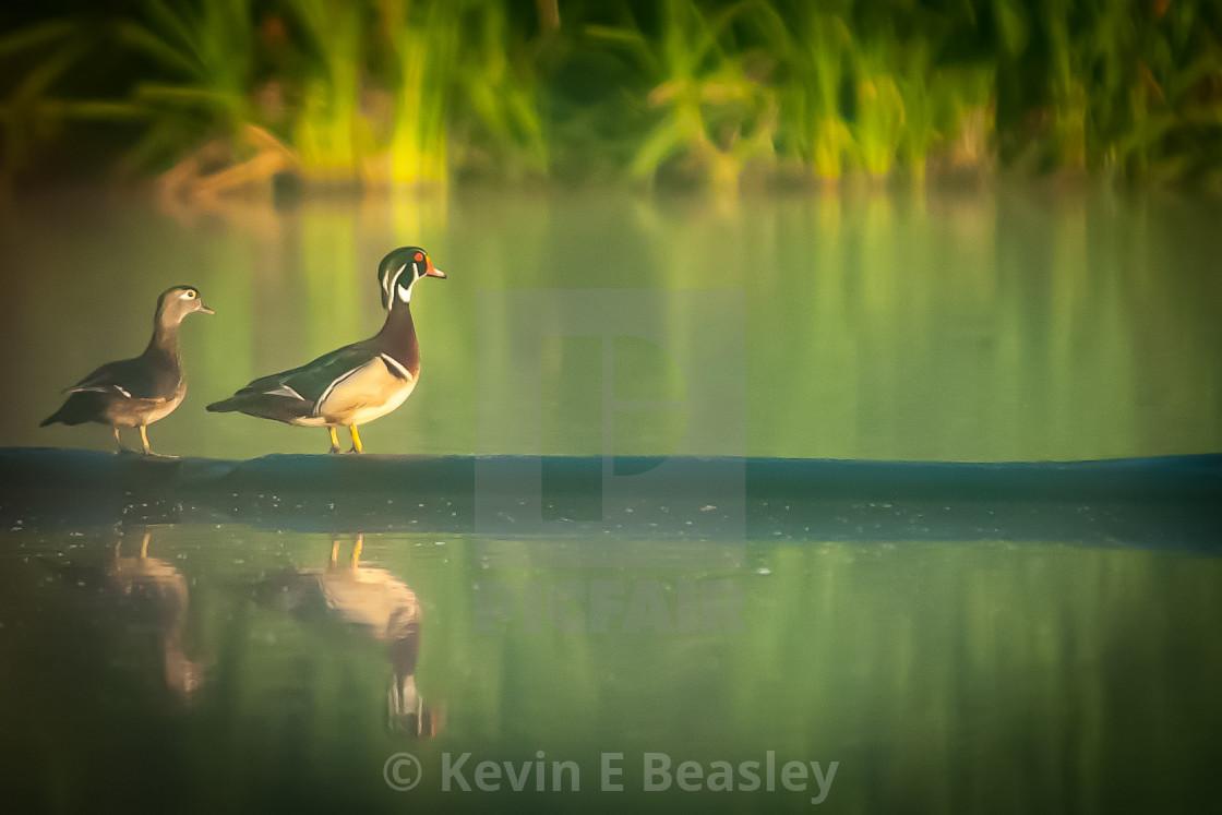 """Pair of Wood Ducks (Aix sponsa) on a Log"" stock image"