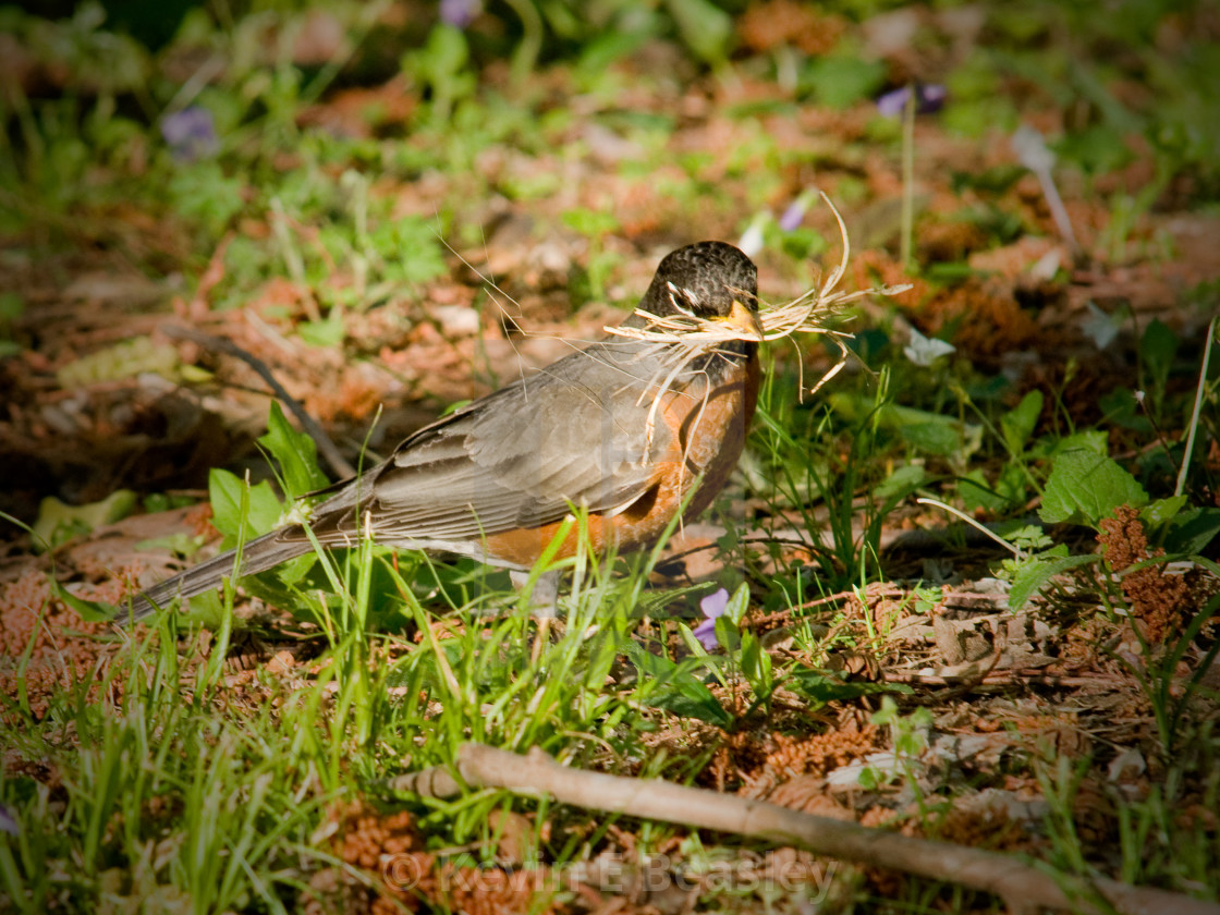 """Robin Building a Nest in the Spring (Turdud migratorius)"" stock image"