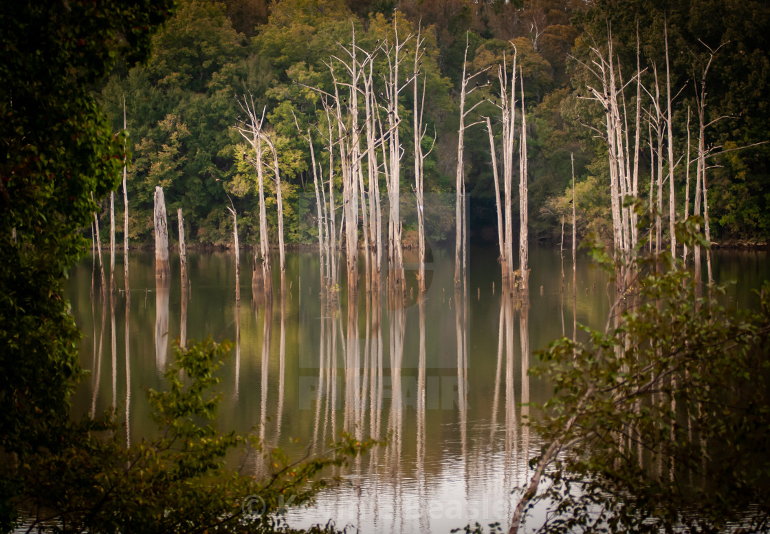 """""""Trees in the Alabama River"""" stock image"""