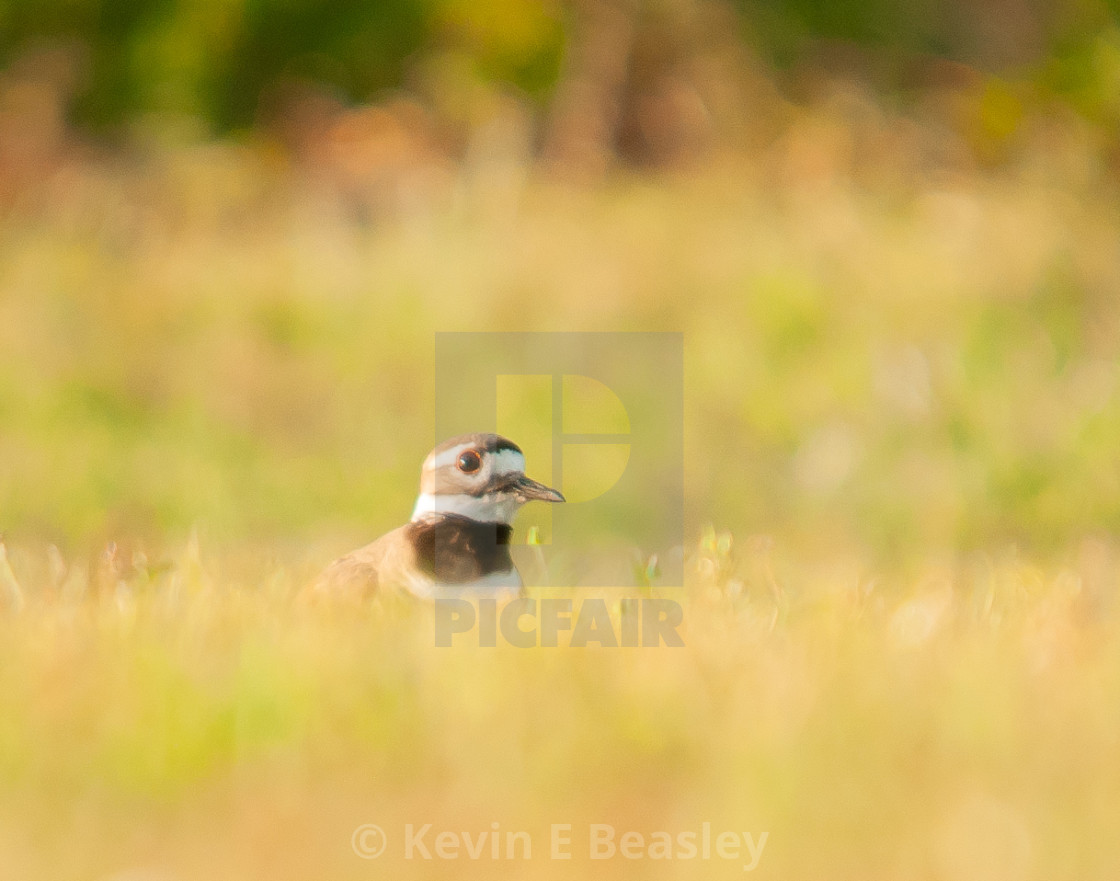 """Killdeer (Charadrius vociferus ) hiding in Grass"" stock image"
