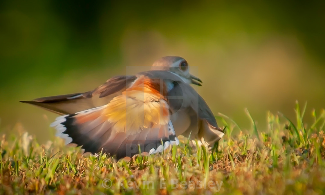 """Killdeer (Charadrius vociferus ) Distraction Display to Protect"" stock image"