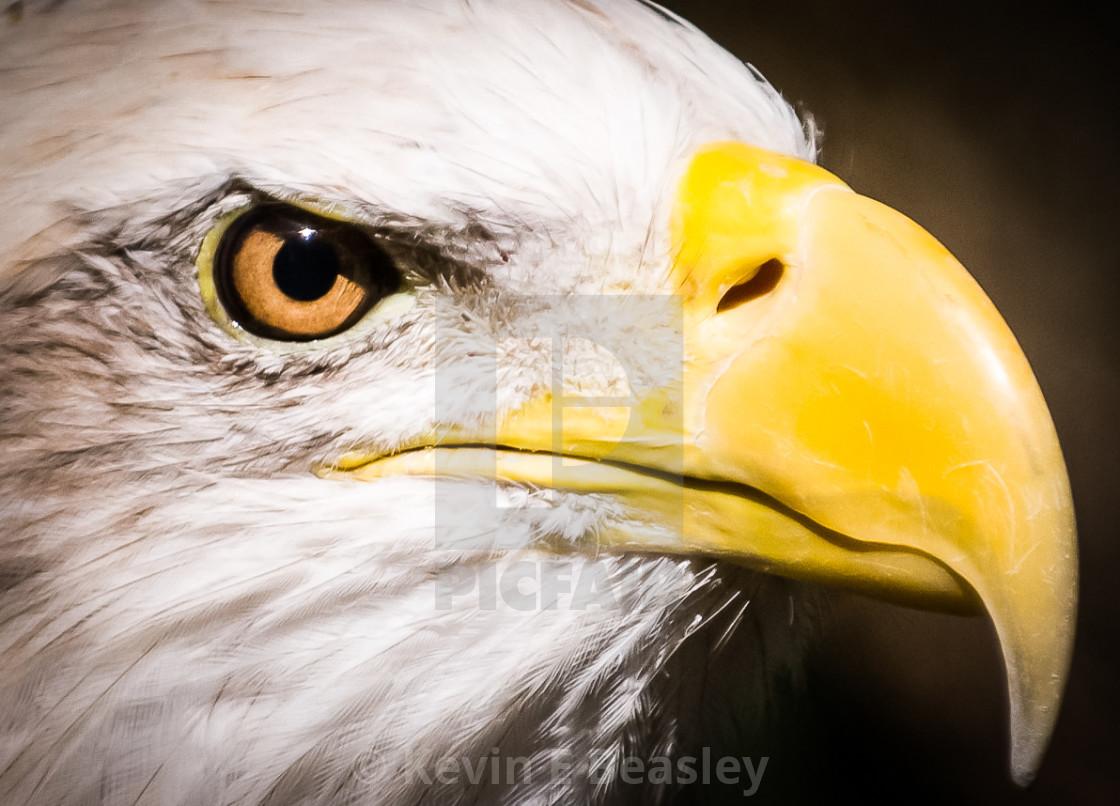Bald Eagle Head Shot at Montgomery Zoo