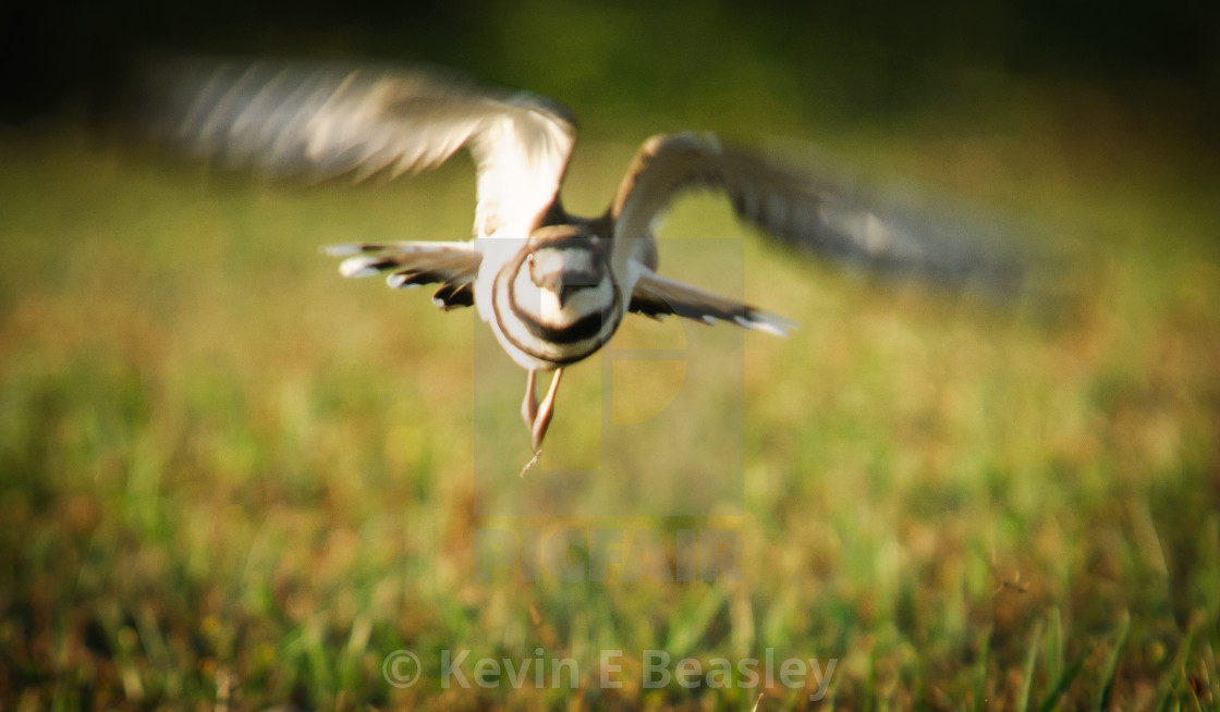 """Killdeer (Charadrius vociferus ) in Flight in Auburn, Alabama"" stock image"