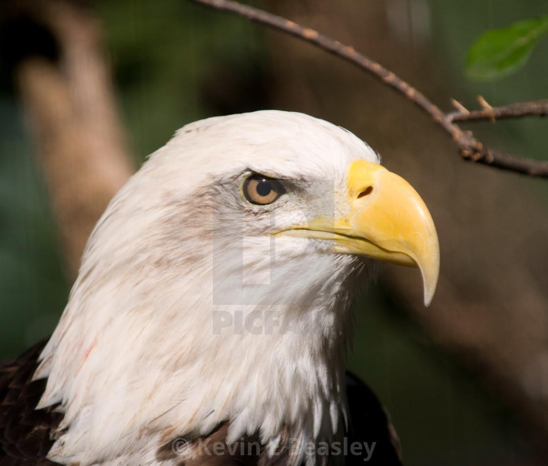 """Bald Eagle Head Shot at Montgomery Zoo"" stock image"