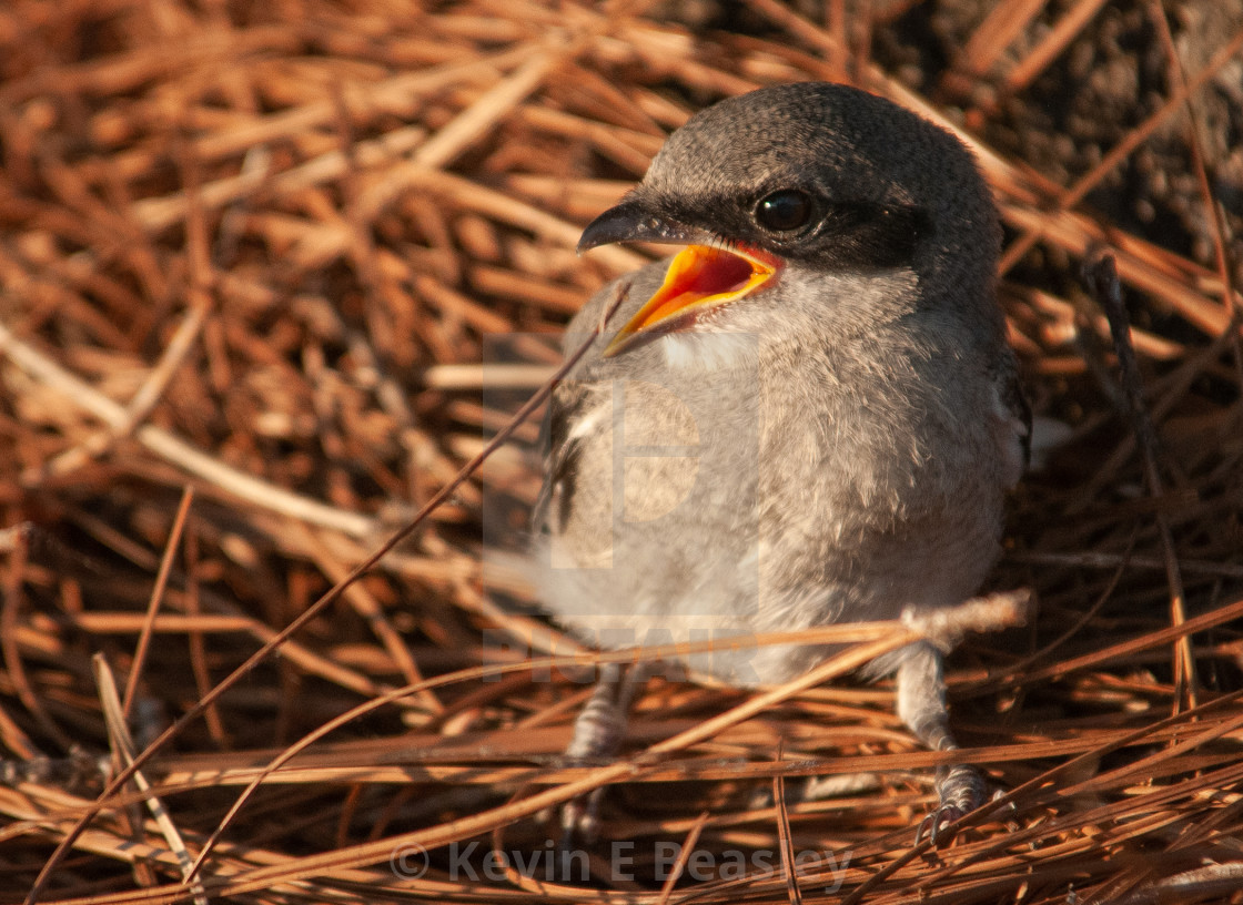 """Baby Mockingbird (Mimus polyglottos) in Nest"" stock image"