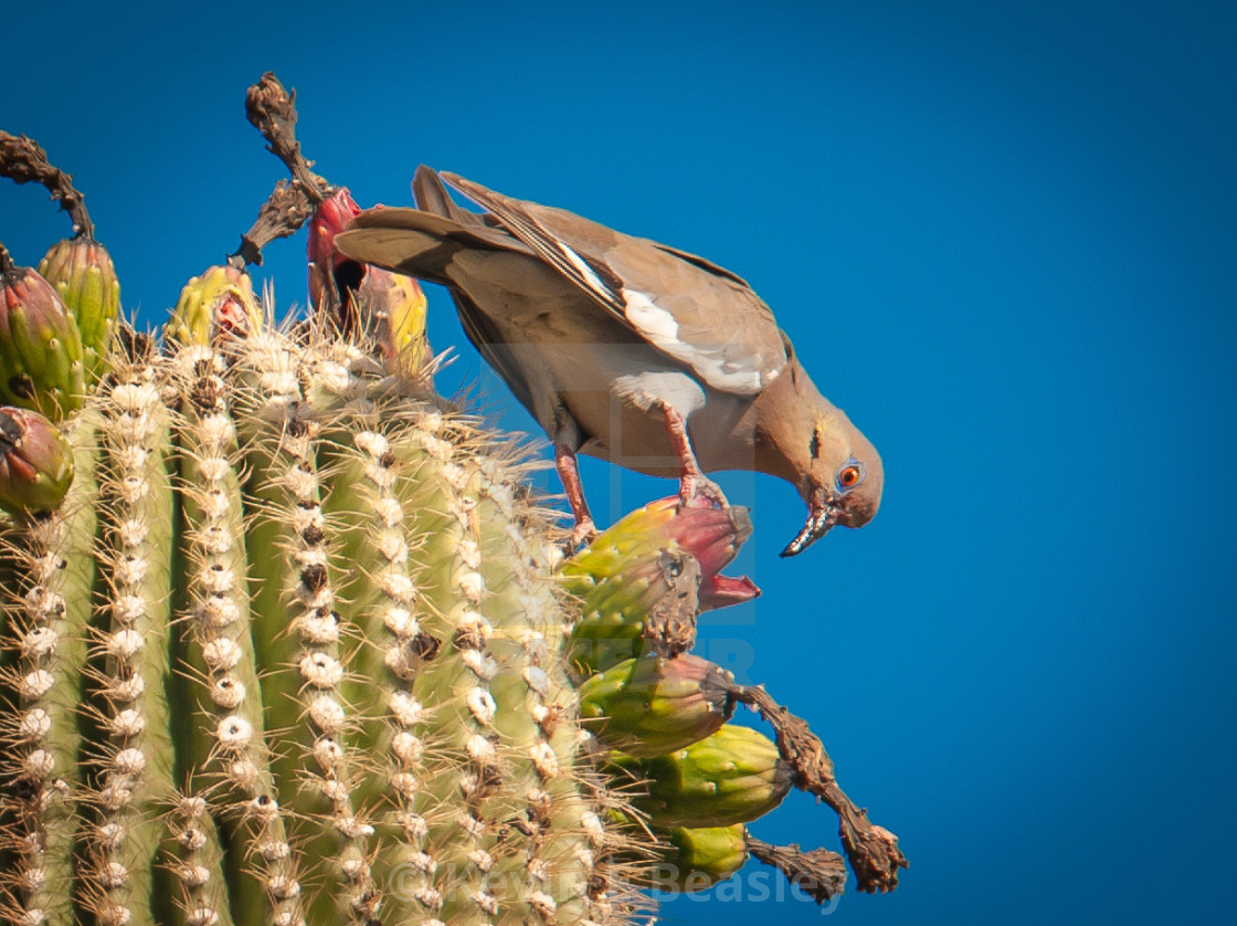 """Mourning Dove (Zenaida doves) on Saguaro Cactus in Arizona"" stock image"