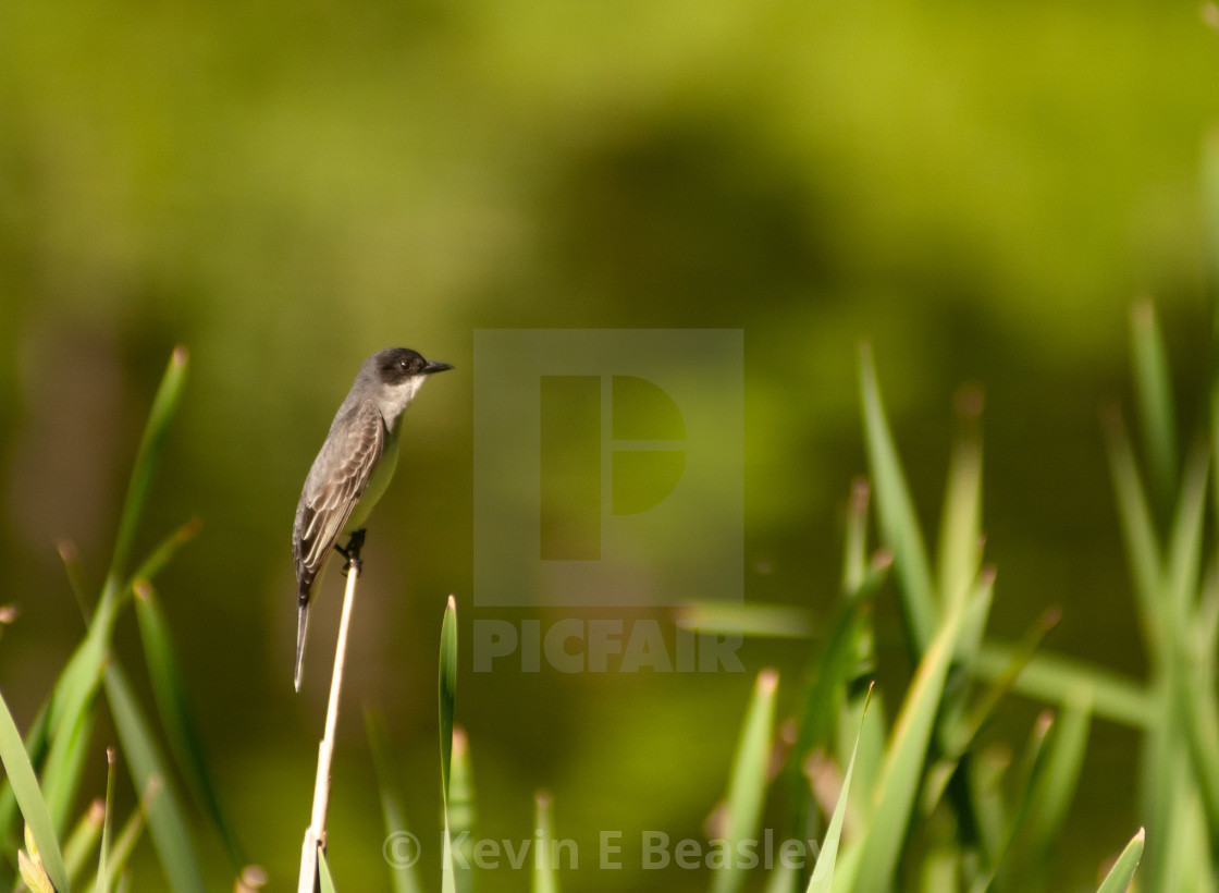 """Eastern Kingbird from East Alabama"" stock image"