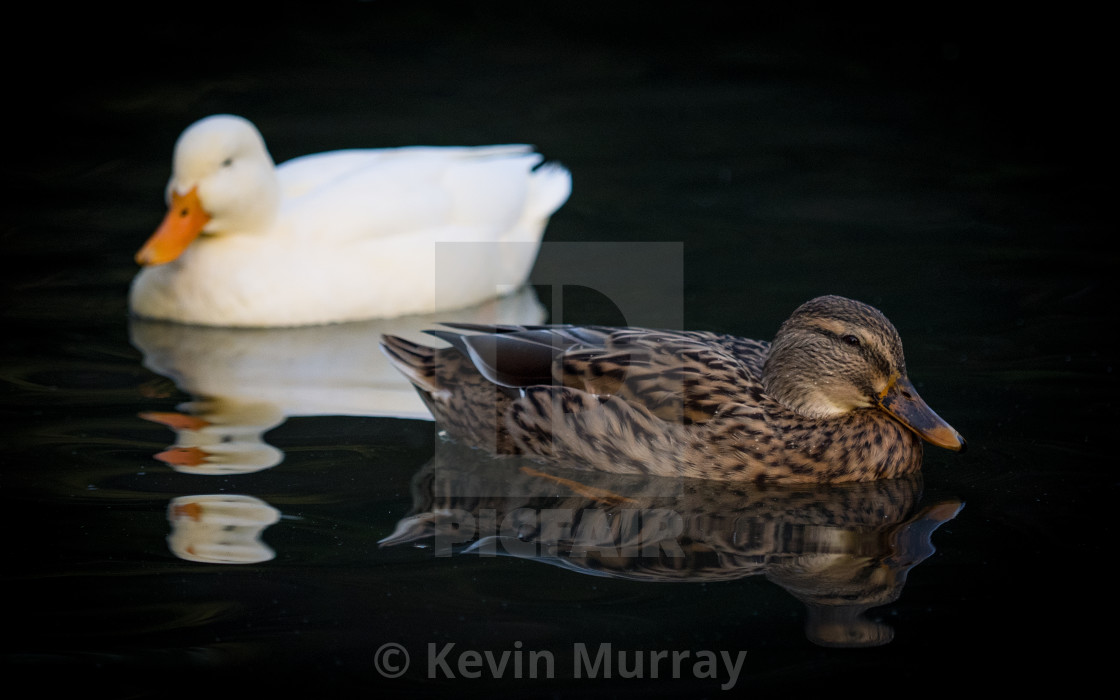 """Two Ducks"" stock image"