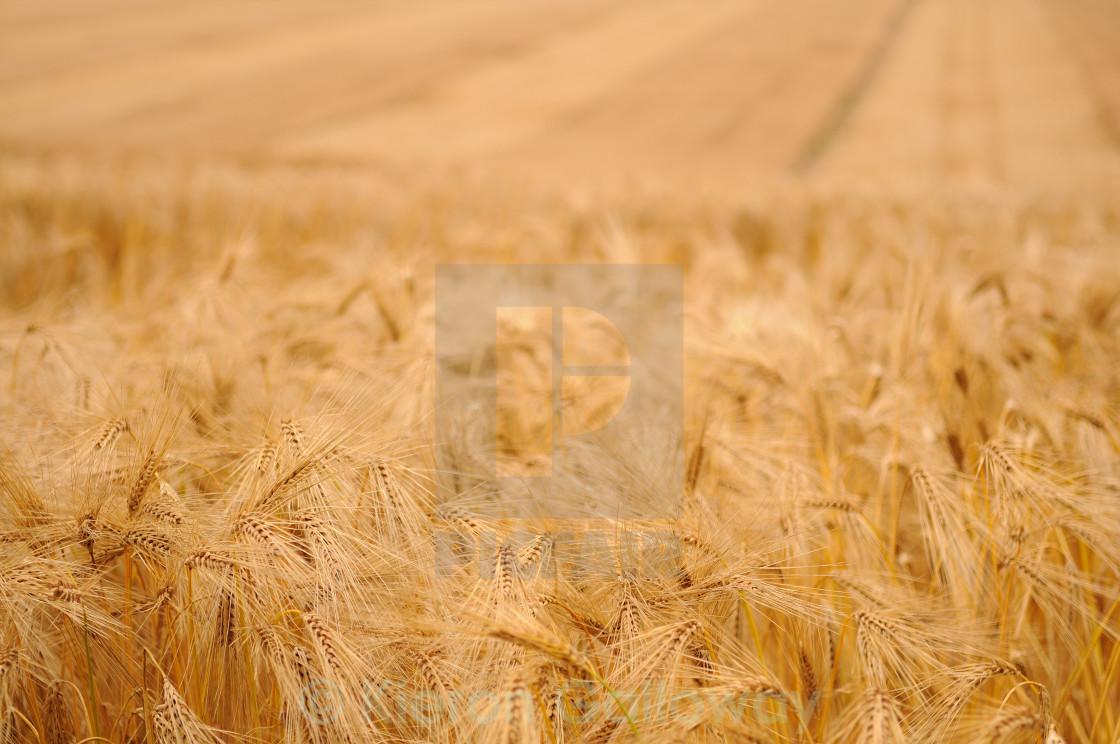 """Barley field Hampshire UK"" stock image"