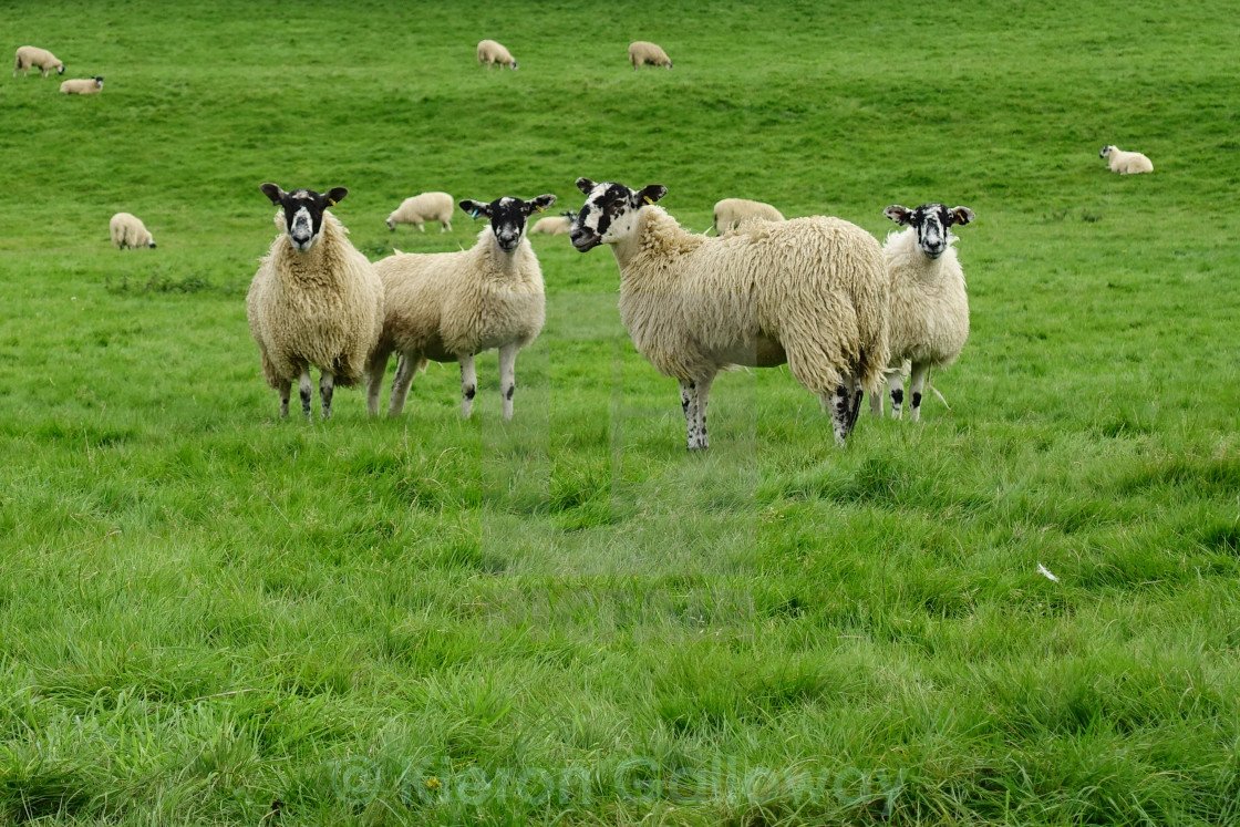 """Looking Sheepish #2"" stock image"