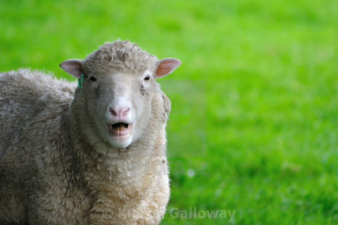 """English Sheep Ewe calling"" stock image"