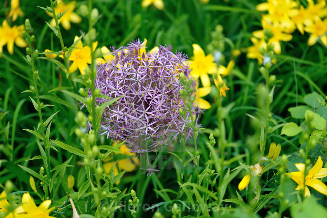 """Spring purple Allium in English Country Garden"" stock image"