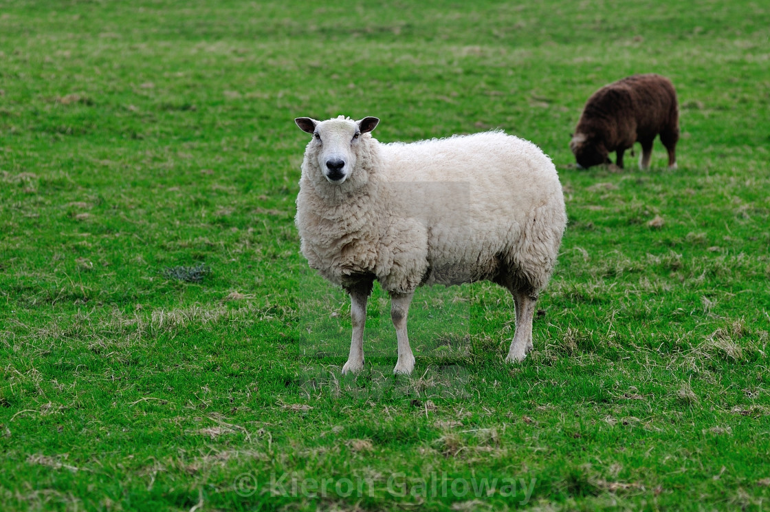 """English sheep white and brown"" stock image"