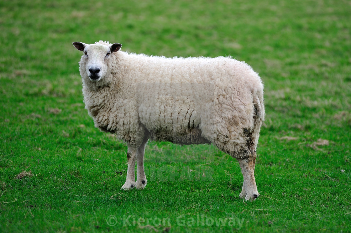 """English sheep full body"" stock image"