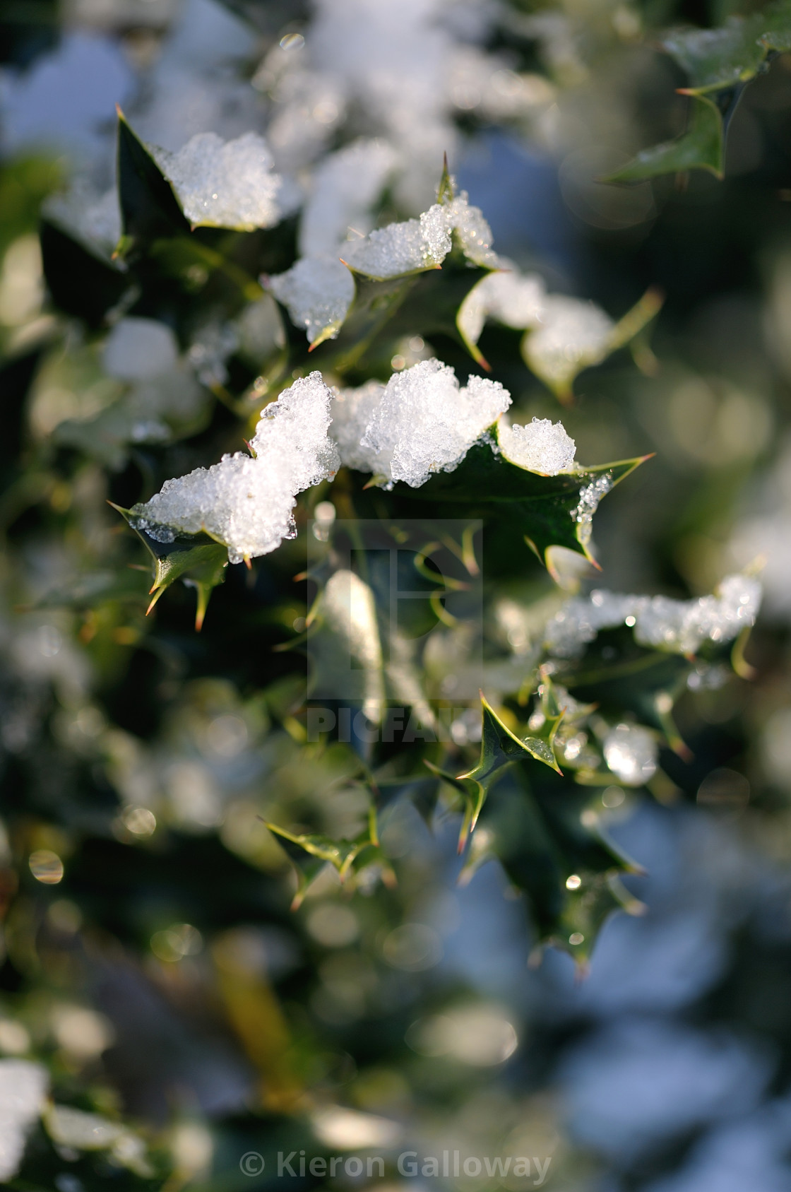 """""""Holly busy with snow"""" stock image"""