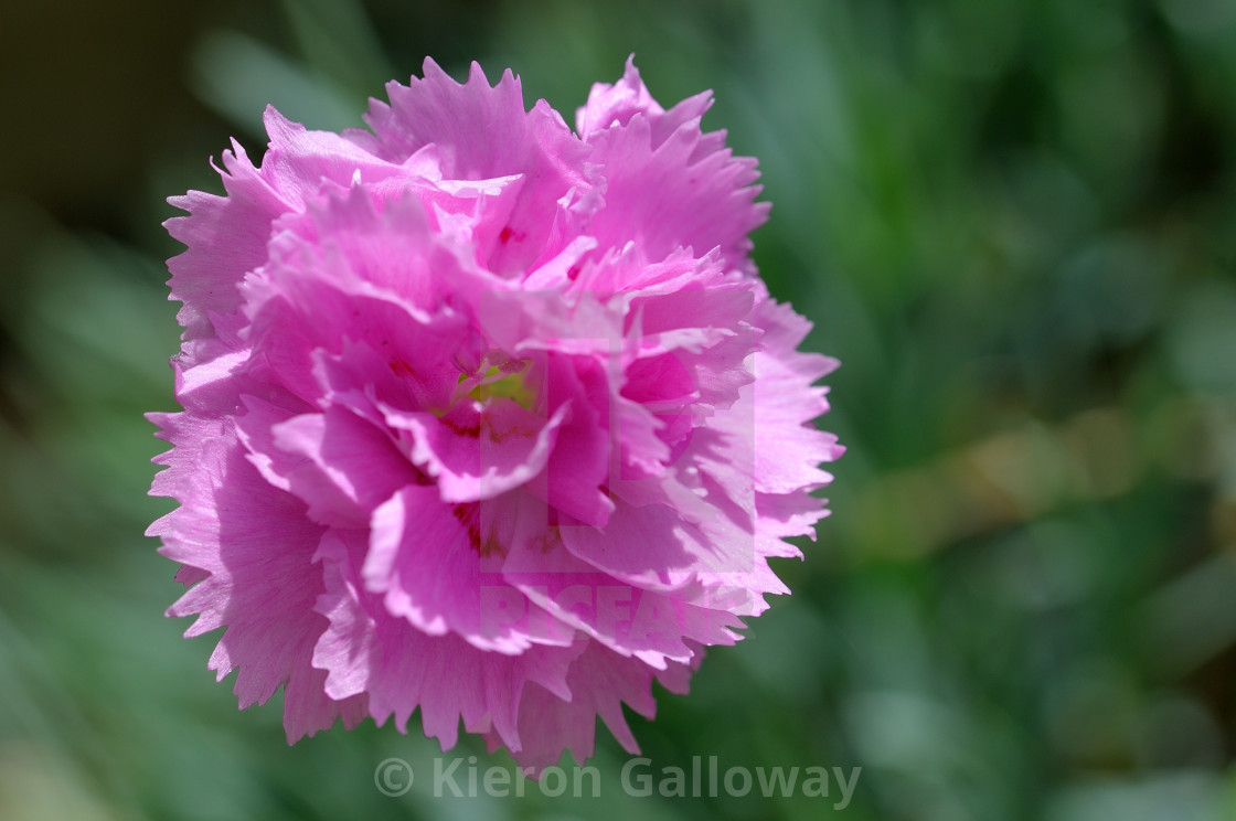 """Purple carnation flower head"" stock image"
