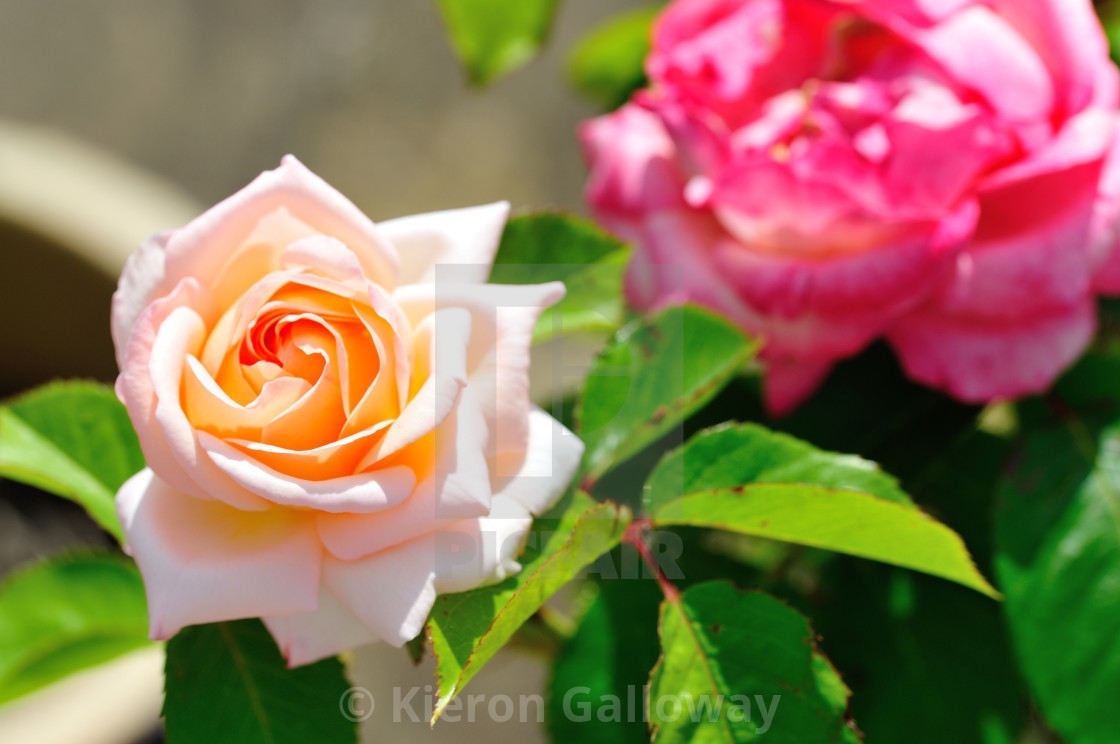 """""""Double Rose heads - Peach foreground"""" stock image"""