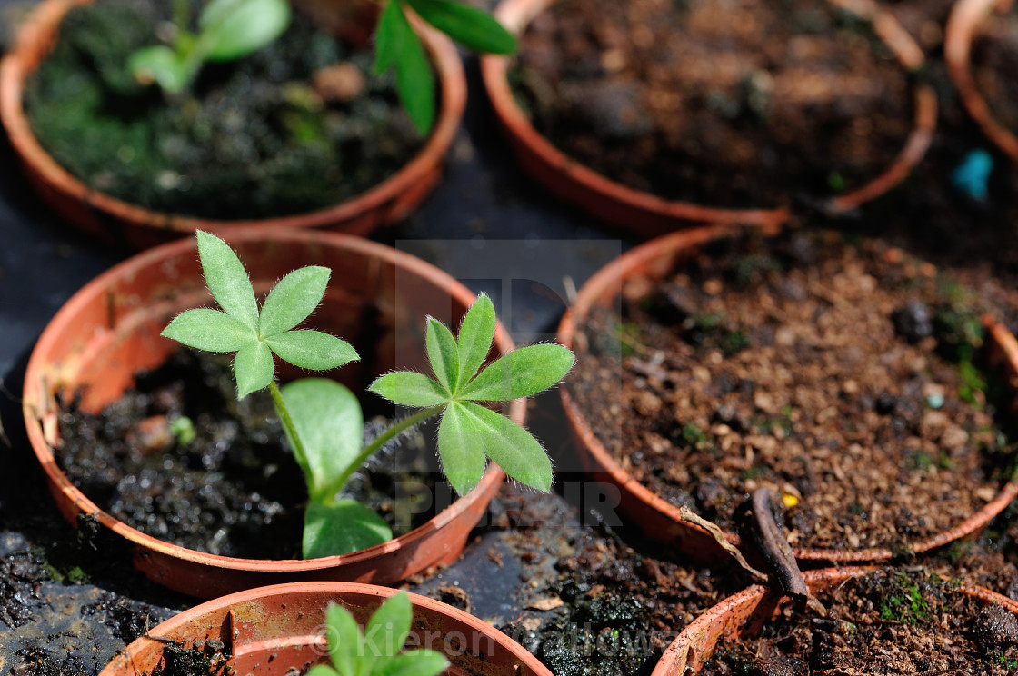 """Seedling powering into growth"" stock image"