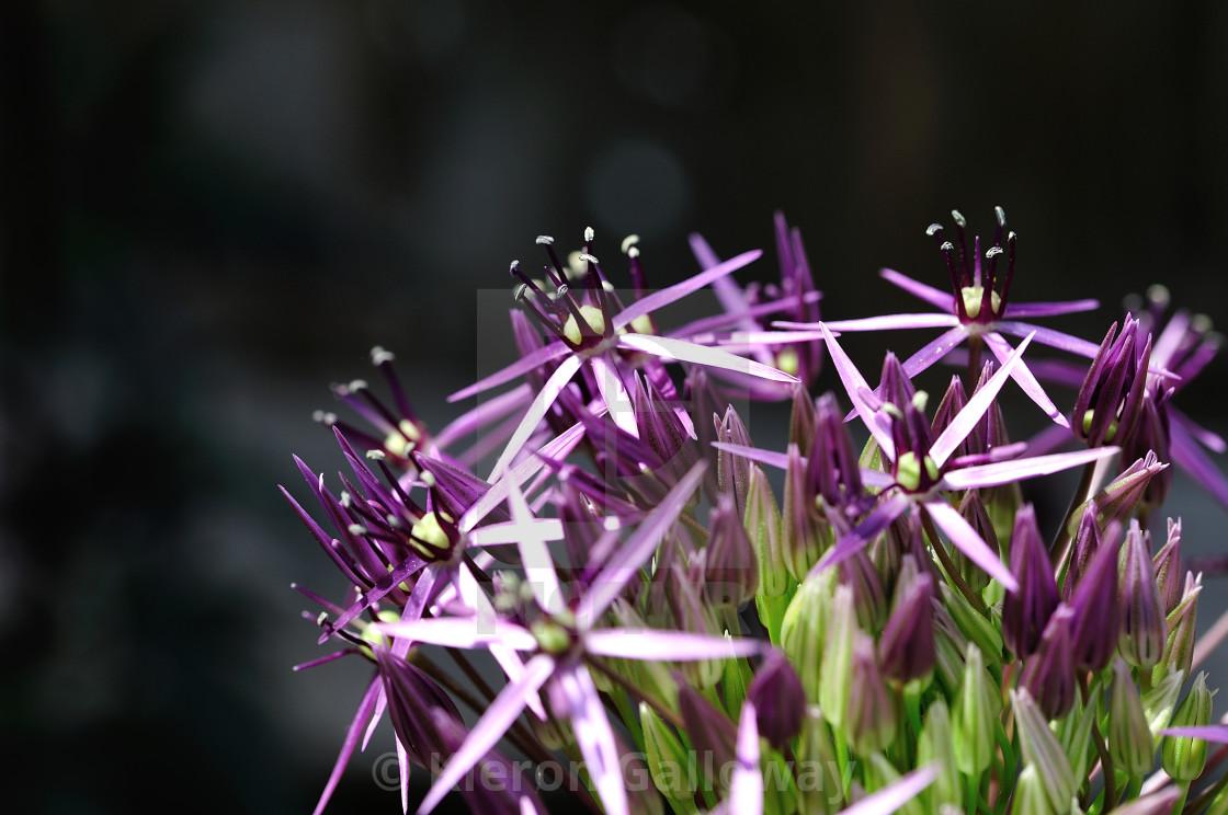 """""""Allium magic"""" stock image"""
