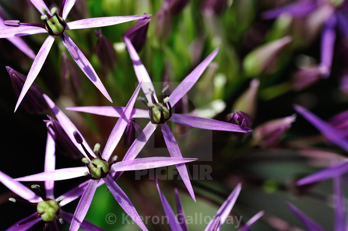 """Allium flower macro"" stock image"