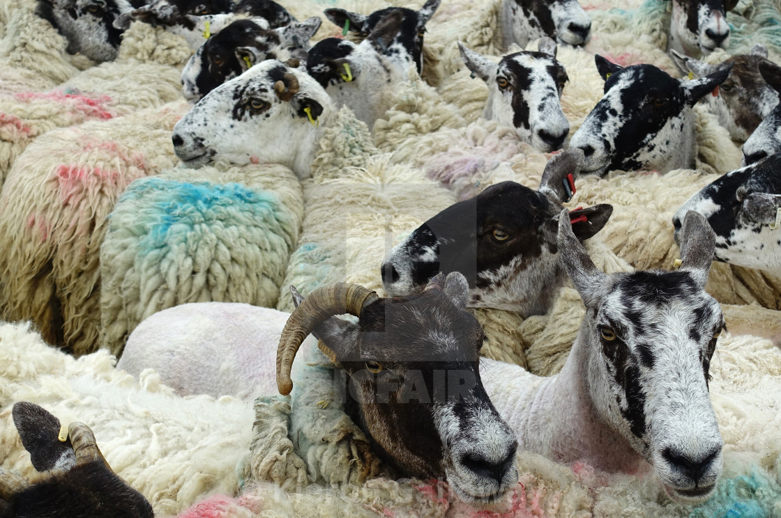 """Sheep mosh pit"" stock image"