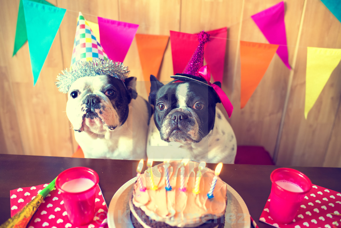 """""""Couple of dogs on birthday party"""" stock image"""