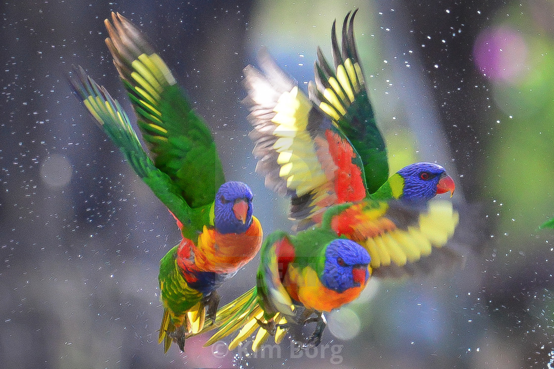 """Full Flight Rainbow Lorikeets"" stock image"