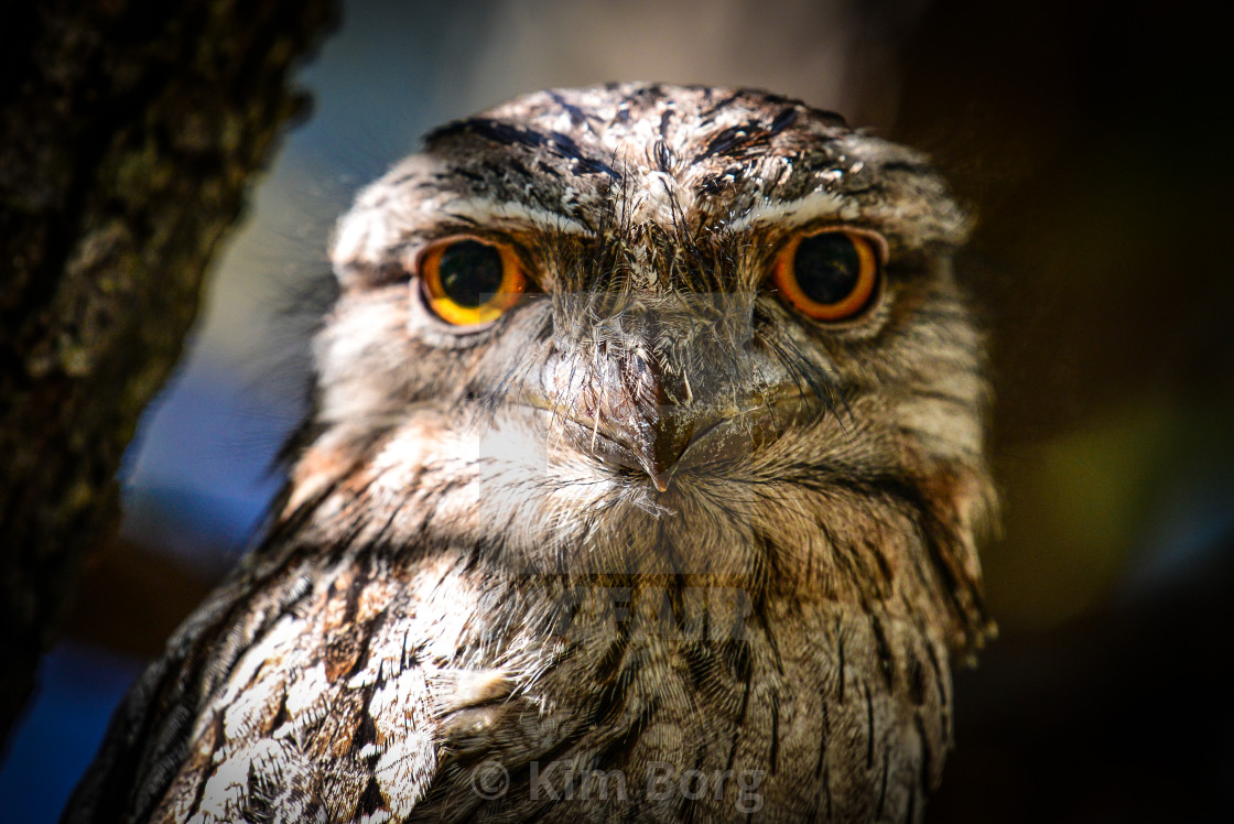 """Tawny Frogmouth"" stock image"