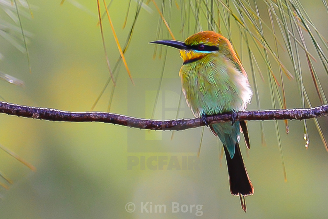"""Rainbow Honeyeater"" stock image"