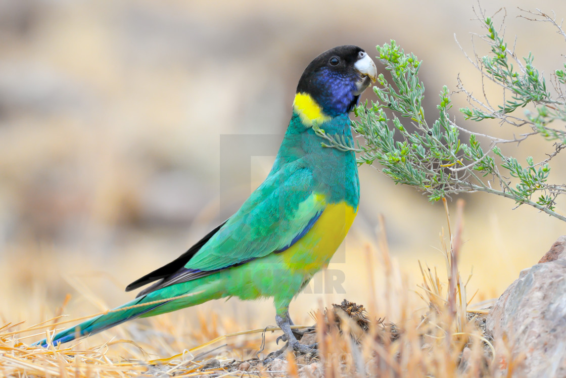 """Port Lincoln Parrot"" stock image"