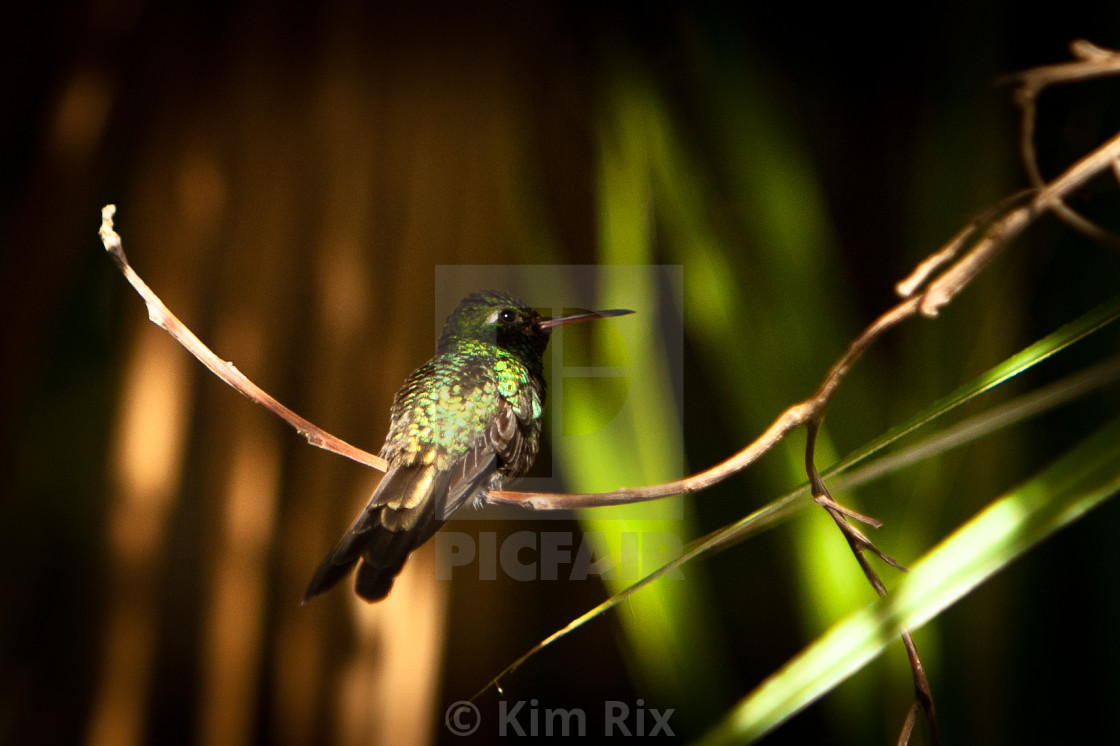 """The Cuban Emerald Hummingbird"" stock image"