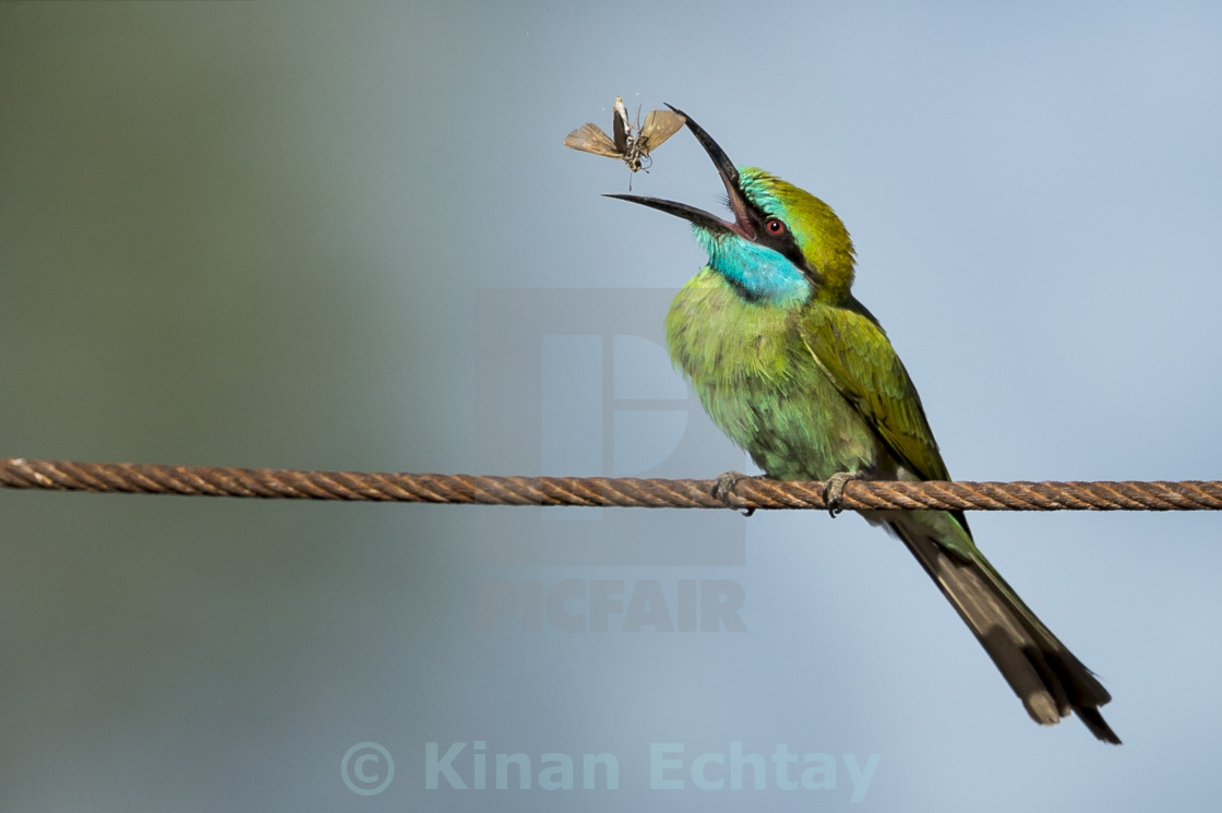 """Green Bee-eater"" stock image"
