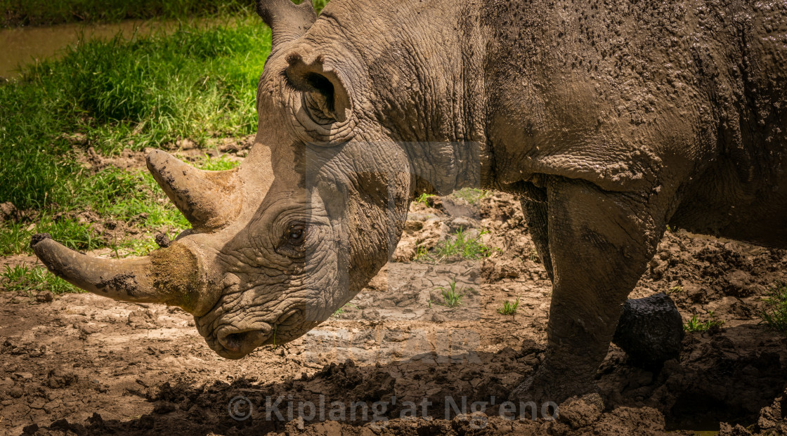 Black Rhino - License, download or print for £12 40 | Photos