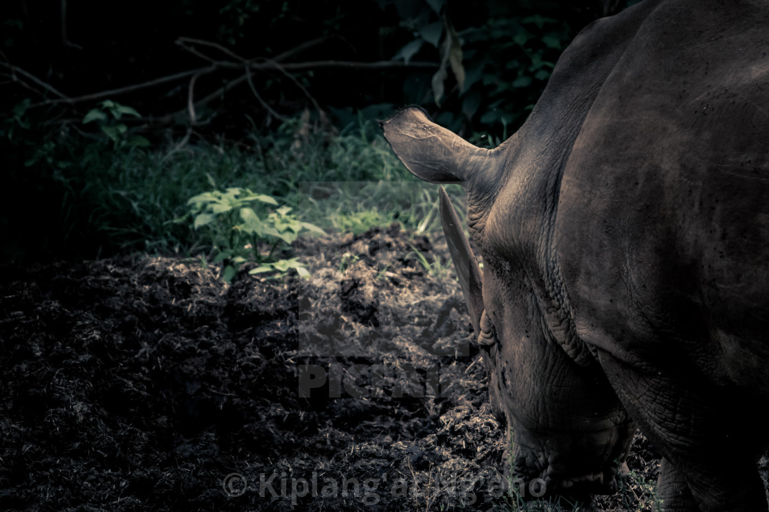 Fine art rhino - License, download or print for £12 40
