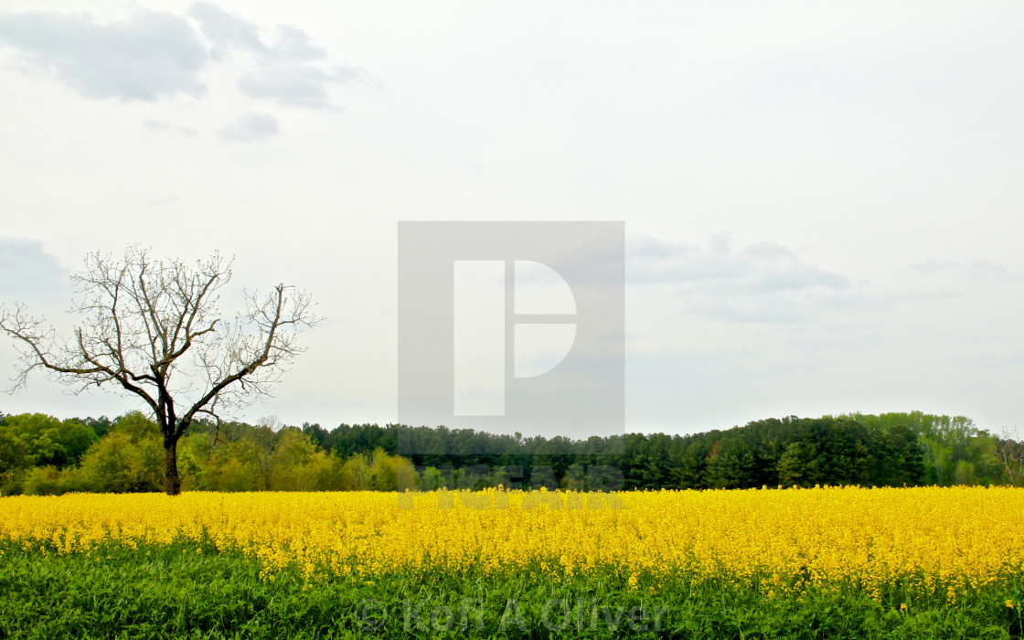 """Yellow Fields"" stock image"
