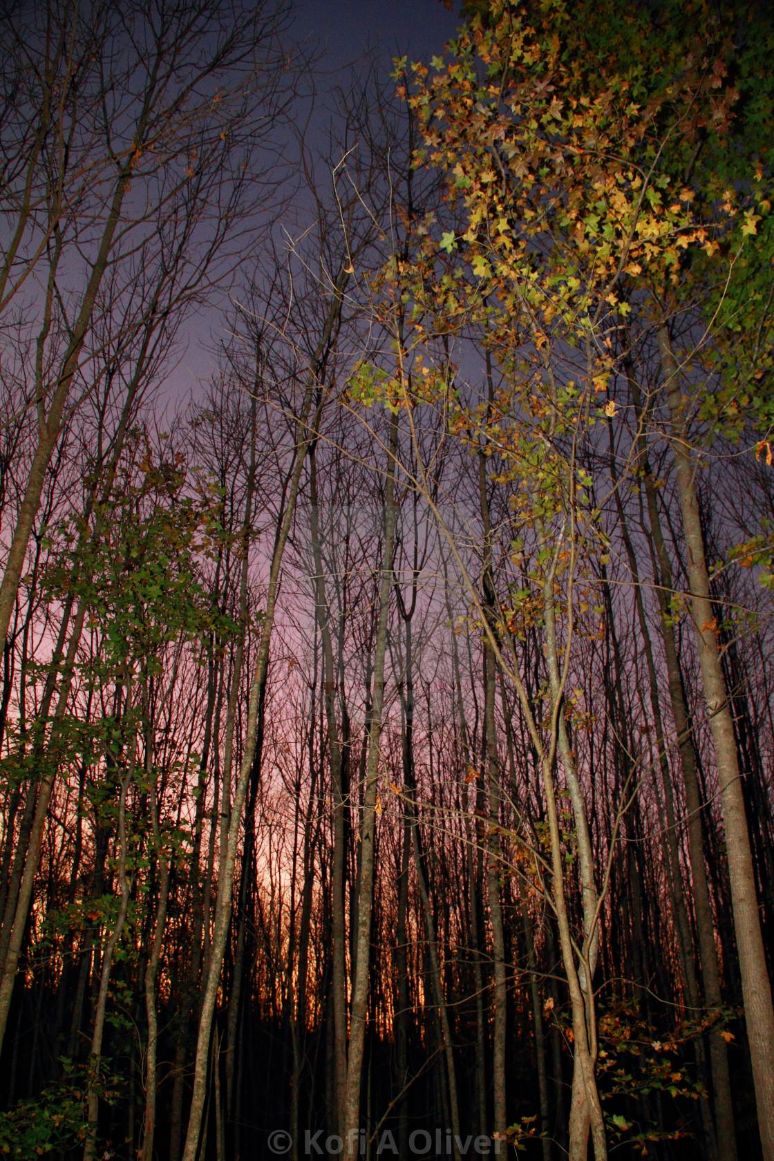 """""""Woods at Dusk"""" stock image"""