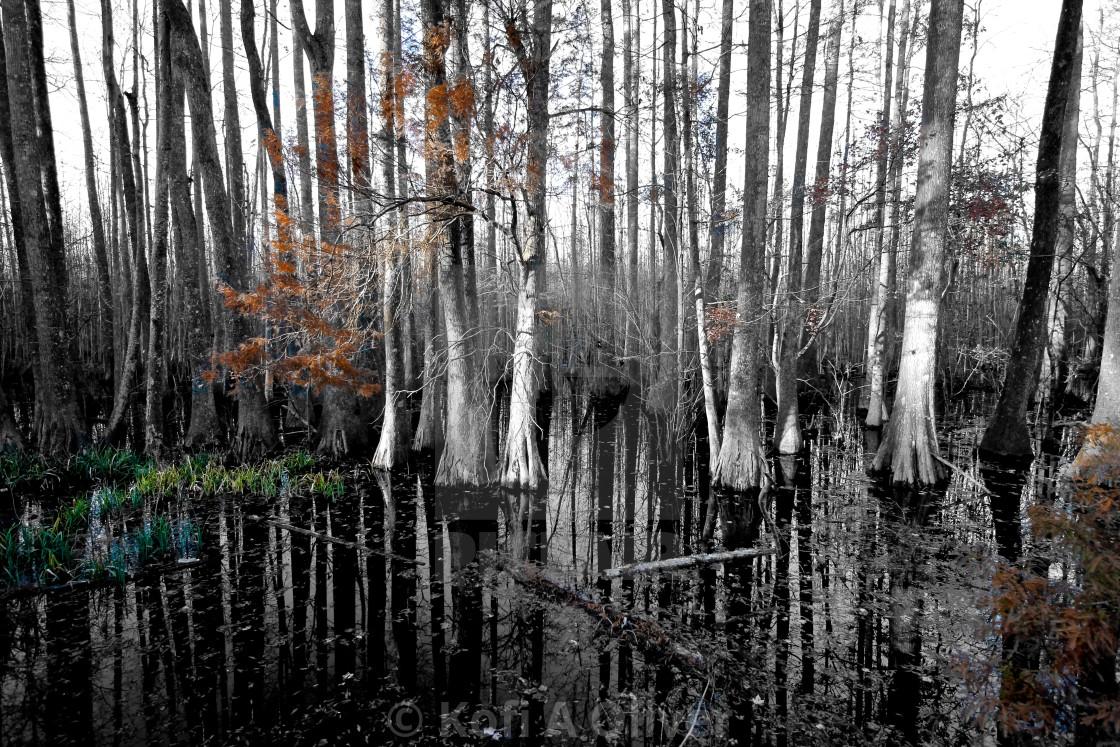 """""""Swamp Trees"""" stock image"""