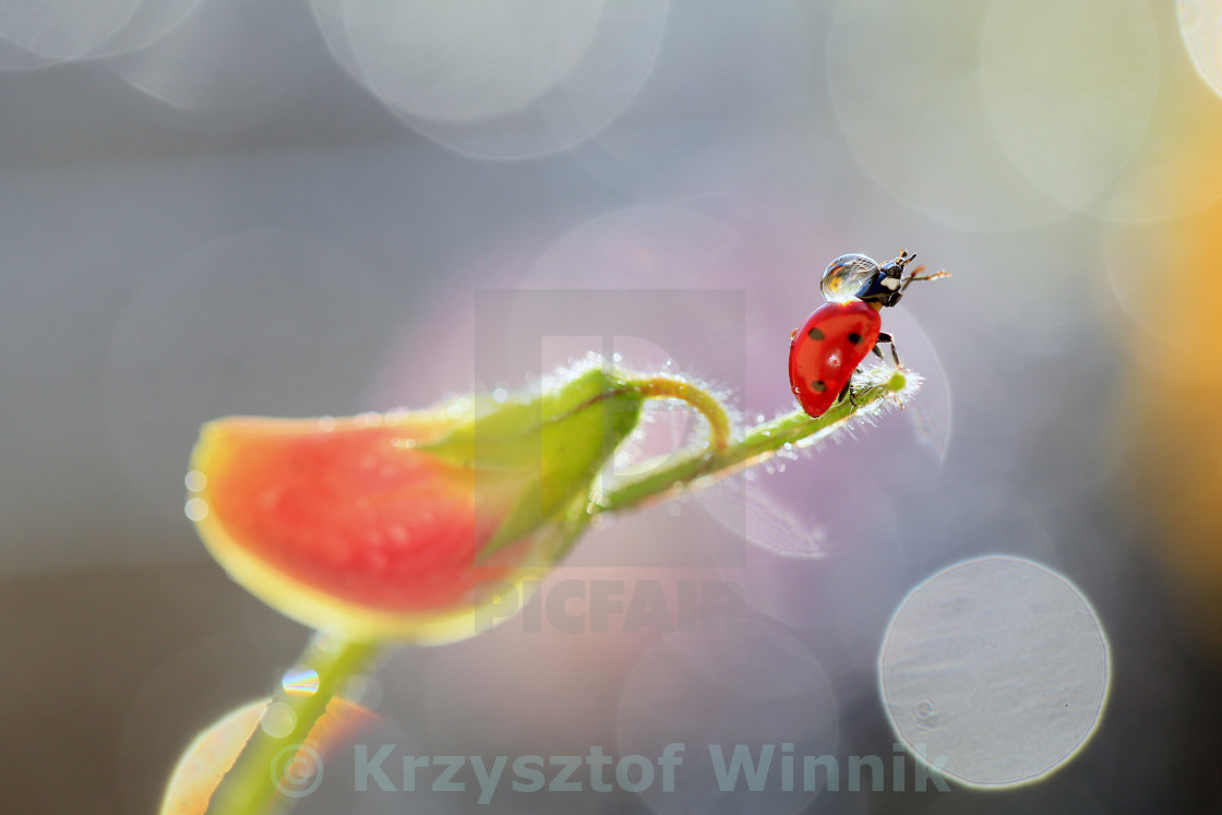 """A drop of water on a ladybird"" stock image"
