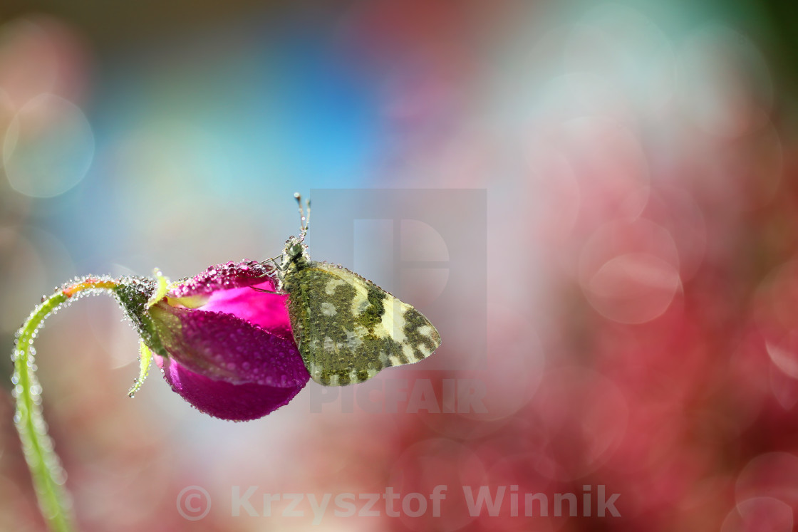 """""""Beautiful lonely butterfly"""" stock image"""
