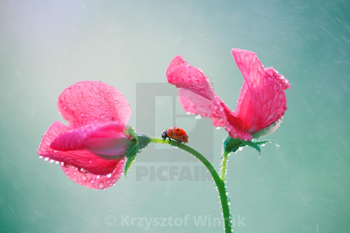 """""""Naughty little red ladybug"""" stock image"""