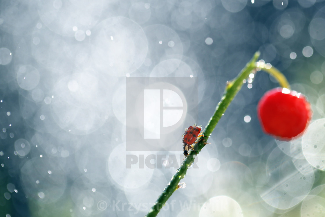 """Ladybird walking after stem"" stock image"