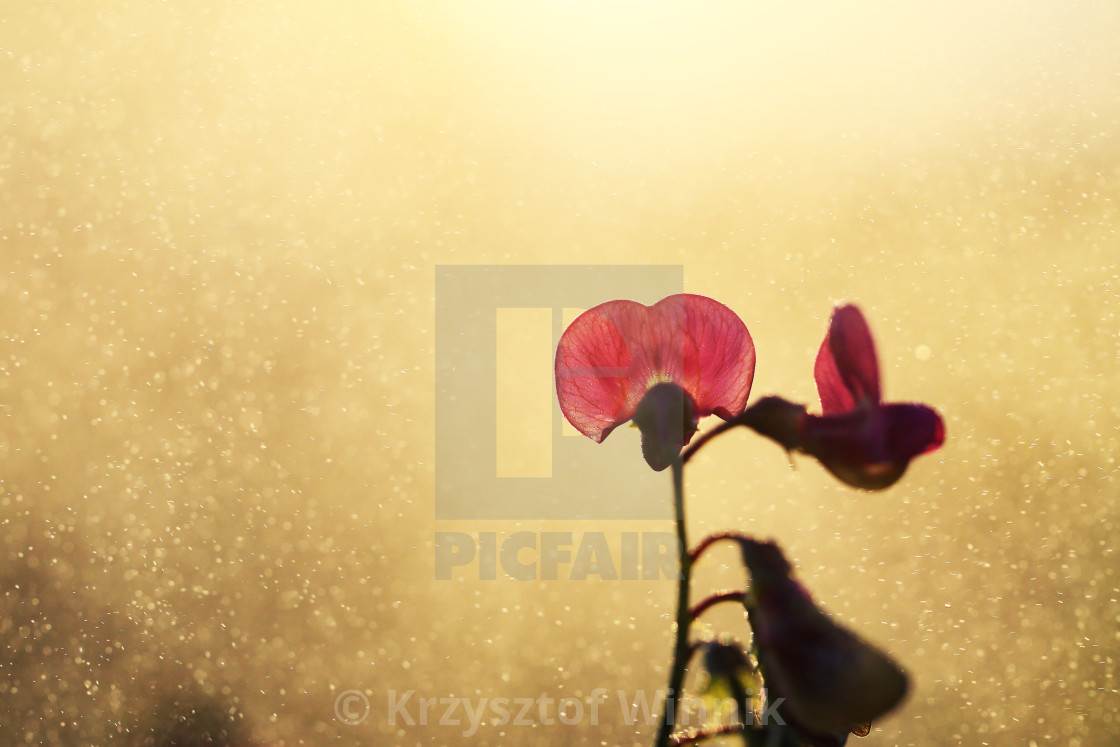 """Field pea grows naturally in a meadow or by the road and looks beautiful"" stock image"