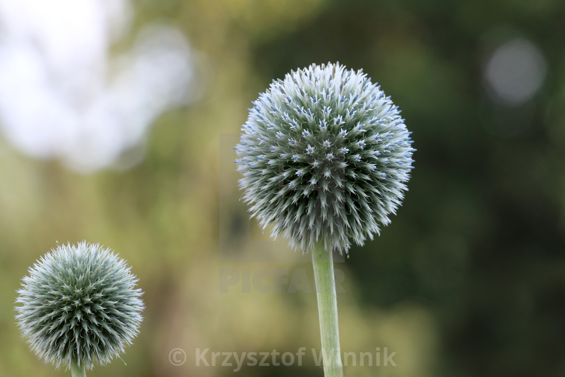 """Echinops is a plant rarely found in home gardens and looks so nice"" stock image"