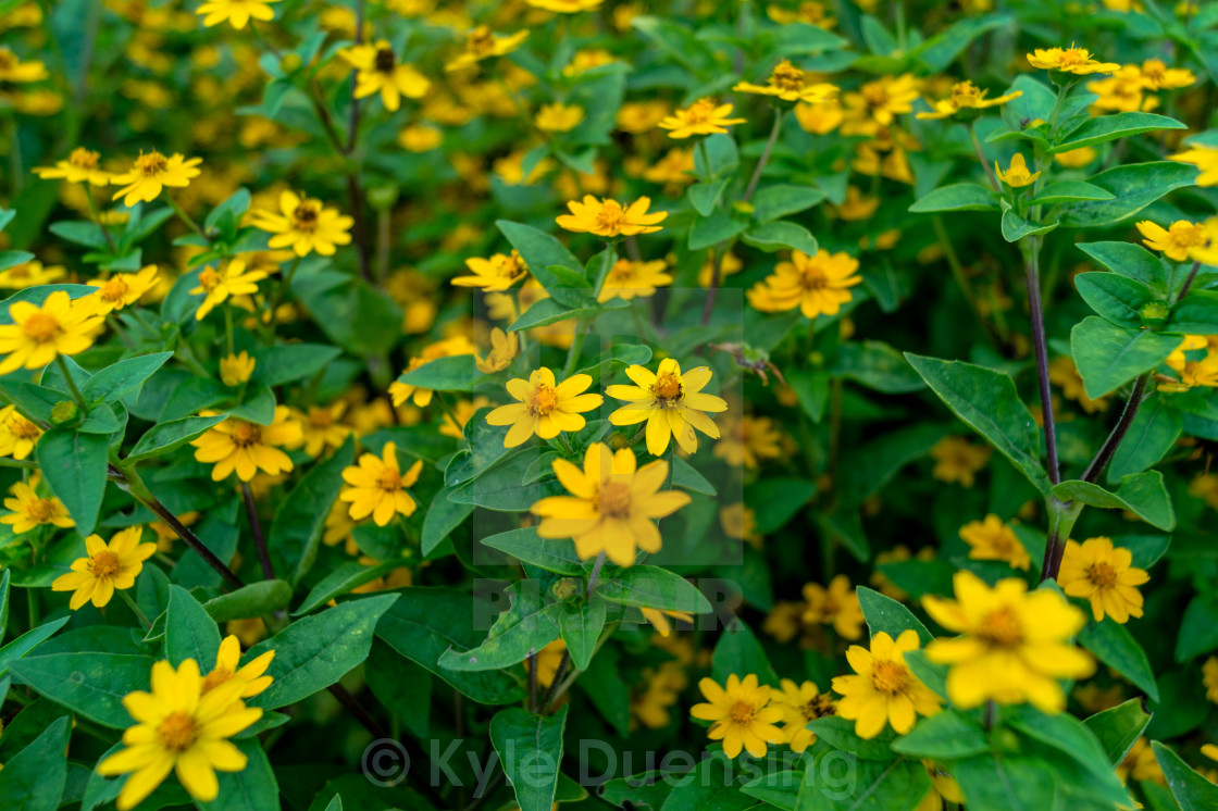 """Yellow Flowers"" stock image"