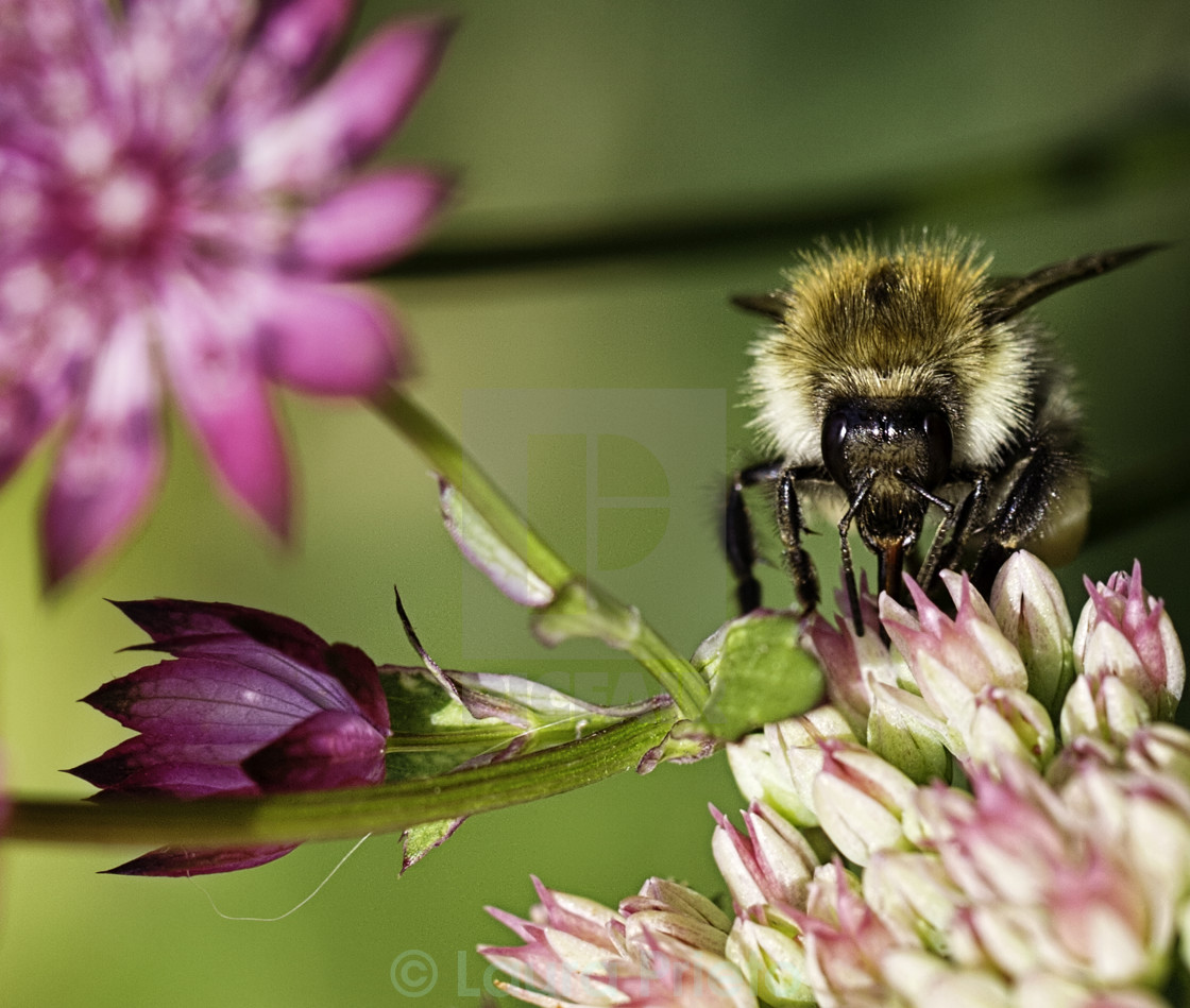 """Bee feeding on pink flower"" stock image"
